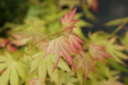 Acer palmatum 'Peaches N' Cream'