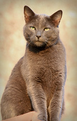 animal, british shorthair, small to medium-sized cats, pet, burmilla, european shorthair, chausie, fauna, chartreux, thai, tonkinese, cat, korat, burmese, carnivoran, whiskers, nebelung, russian blue, domestic short-haired cat,
