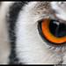 White Faced Scops Owl Eye by Dan Harrod
