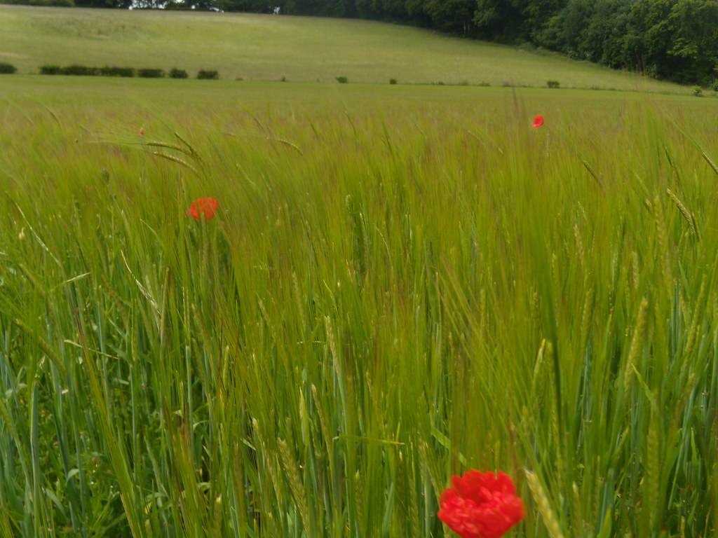 Poppies Saunderton Figure of 8. Bledlow loop