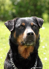 dog breed(1.0), animal(1.0), dog(1.0), huntaway(1.0), appenzeller sennenhund(1.0), pet(1.0), rottweiler(1.0), carnivoran(1.0),