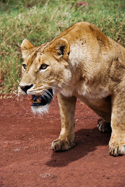 angry lioness - photo #28