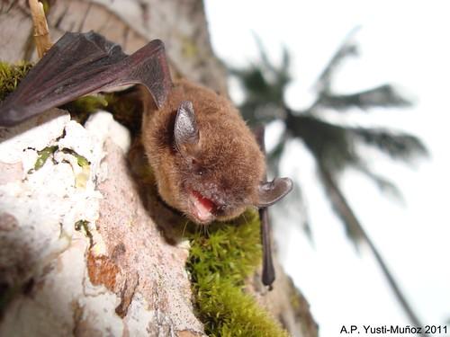 Myotis nigricans, Isla Gorgona, Cauca