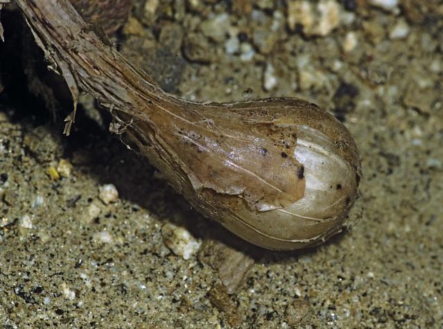 Header of Allium lacunosum