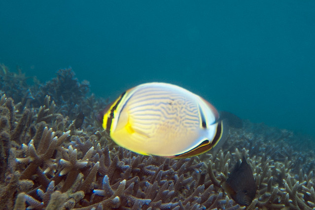 Oval butterflyfish - photo#2