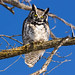 Grand Duc - Great Horned Owl