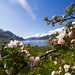 Apple blossoms in Hardanger by robinstrand