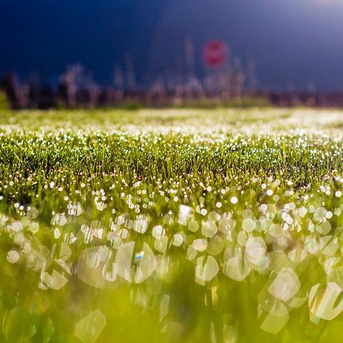 Morning Kiss 120/365: Grass