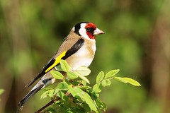 European Goldfinch - Photo (c) Luciano Giussani, some rights reserved (CC BY-NC-SA)