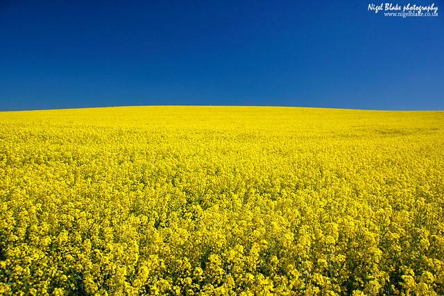 Oilseed Rape Brassica napus and clear blue sky | Flickr - Photo ...: www.flickr.com/photos/nigelblake/4636180738