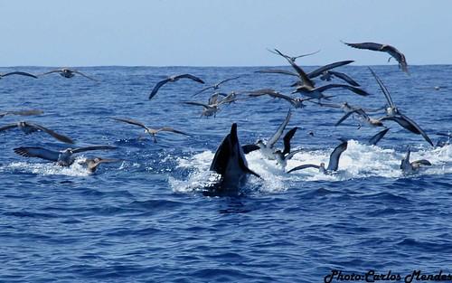 golfinhos comuns e cagarros a caçar