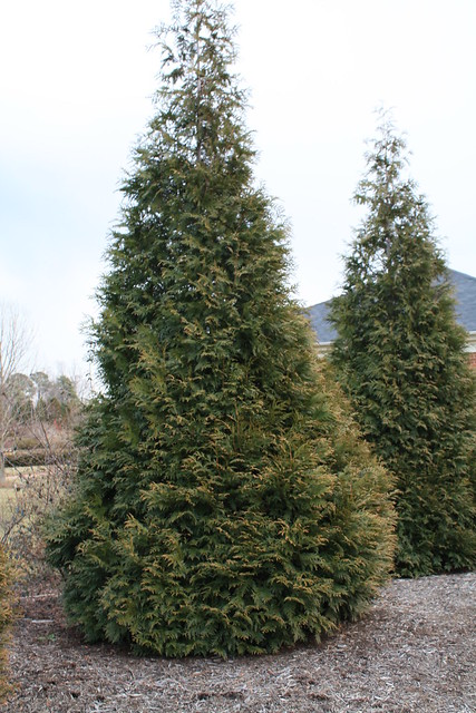 Thuja plicata 39 green giant 39 flickr photo sharing Green giant arborvitae