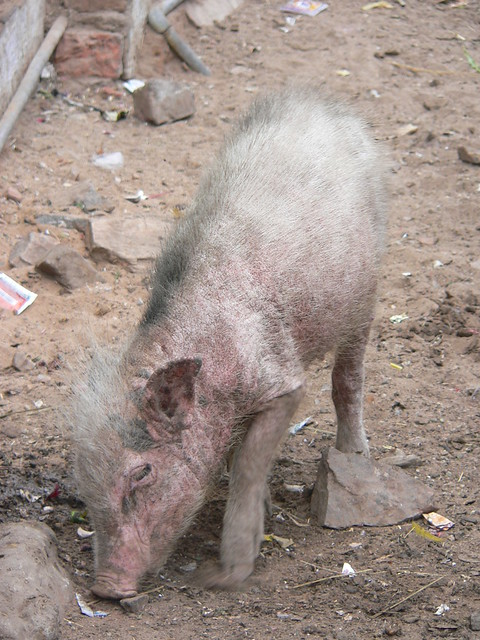 Ugliest Pig In The World The ugliest pig | Flic...