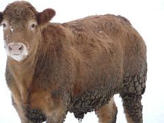 cattle-like mammal, animal, mammal, fauna, cattle,