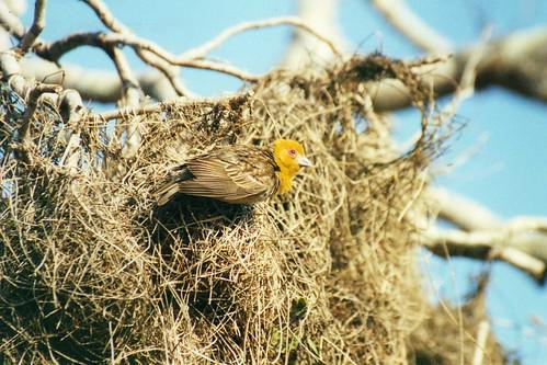 Bird nest, Weaver birds nesting