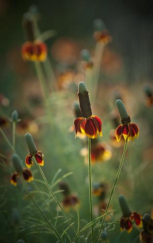 flowers texas tx explore wildflowers mexicanhats impressedbeauty top20texas bestoftexas