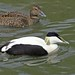 Common Eider - Photo (c) David Merrett, some rights reserved (CC BY)