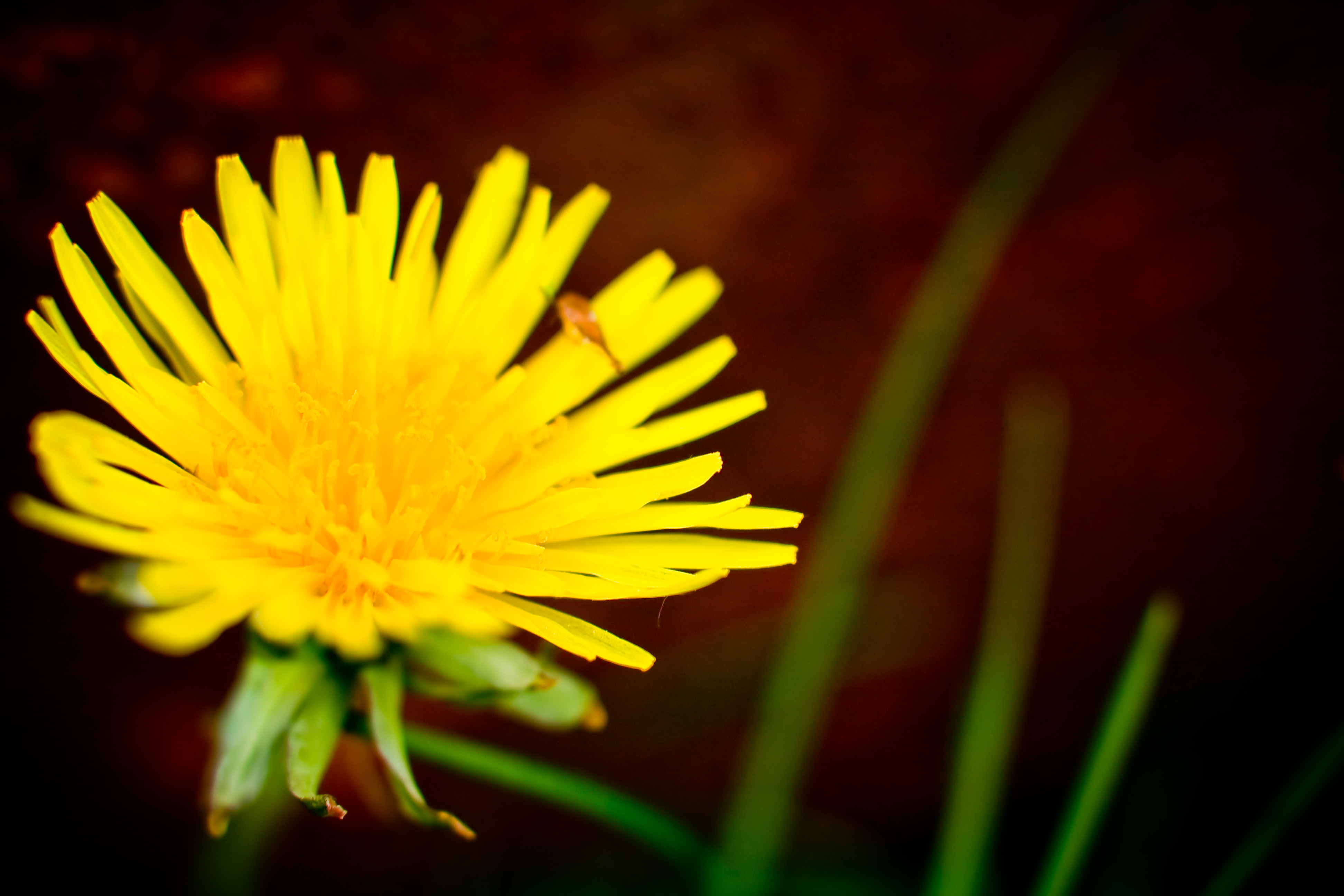 DANDELION by Rick Harris