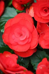 annual plant, garden roses, flower, red, plant, macro photography, camellia japonica, petal,