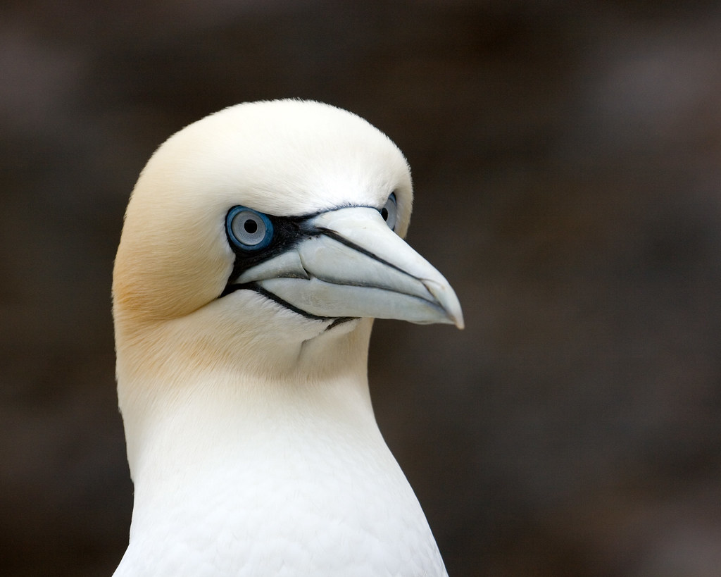Gannets - Photo (c) Keith Marshall, some rights reserved (CC BY-NC-SA)