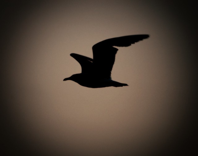 Seagull Silhouette | This is the only picture from the ...