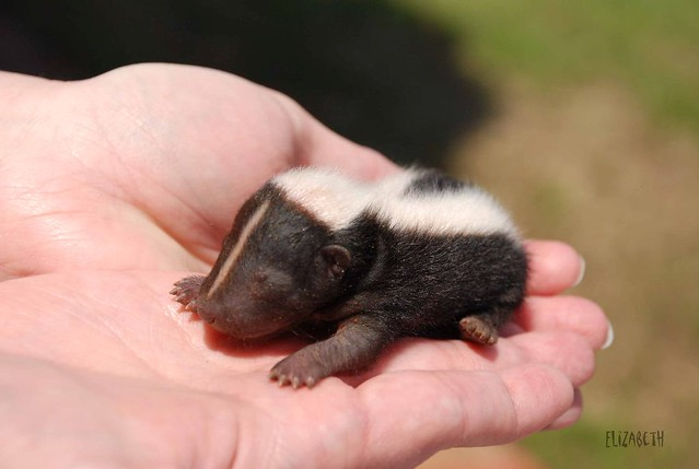 how to take care of a baby skunk