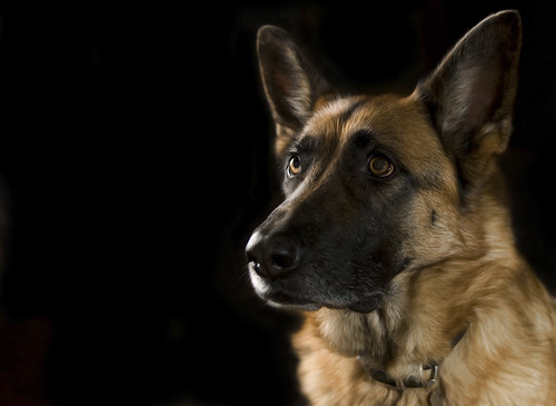 German Shepherd on Black Background