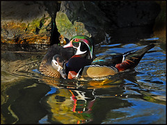 Mr and Mrs Wood duck.
