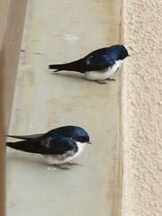 animal, wing, fauna, blue, swallow, beak, bird,
