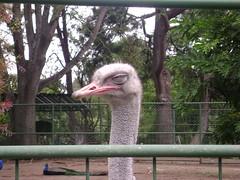 emu(0.0), outdoor recreation(0.0), park(0.0), zoo(1.0), ostrich(1.0), flightless bird(1.0), fauna(1.0), bird(1.0), ratite(1.0),