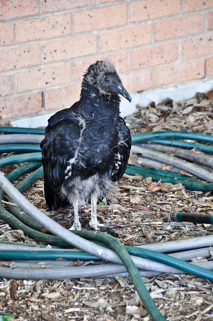 Black Vulture Chick