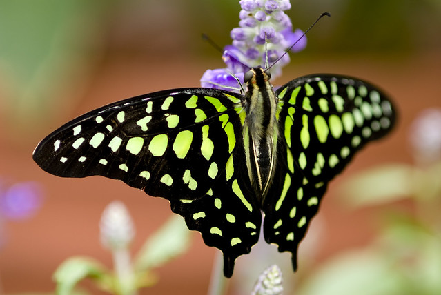 Butterfly at brookside gardens flickr photo sharing - Black And Green Butterfly This Is A Photo Of A Beautiful