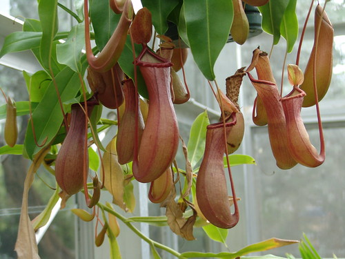 Pitcher Plant {Genus-Nepenthes)