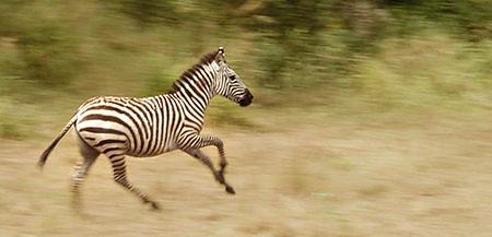 zebra running - photo #24