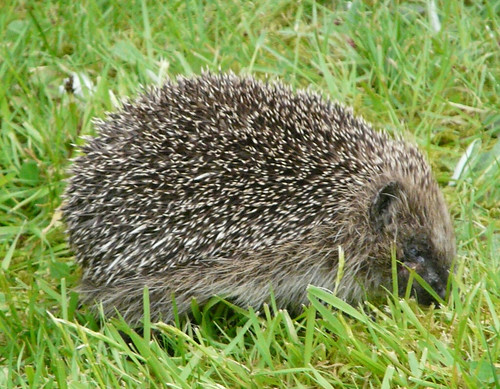 Hedgehog (Erinaceus europaeus) by Peter Orchard
