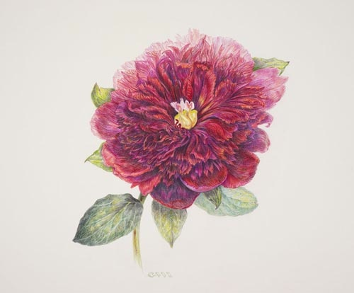 "Paeonia lactiflora 'Pillow Talk' by Carol Ann Morley, 2006.  Colored pencil on Fabriano Artistico 140#, 11"" × 14"". © Copyright Brooklyn Botanic Garden"