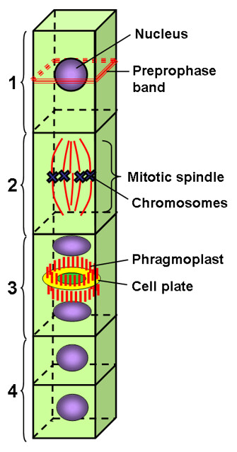 Microtubules in plants diagram   Flickr - Photo Sharing!
