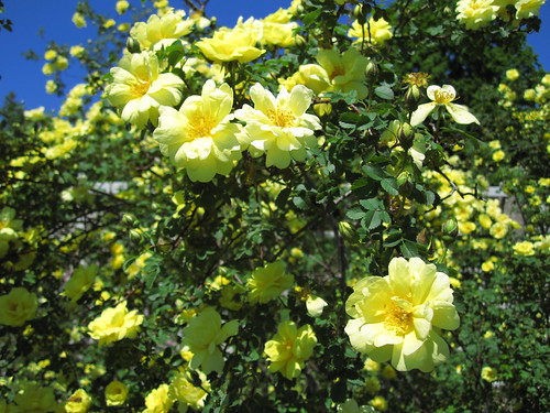 'Harison's Yellow'