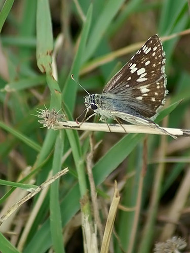 nature butterfly insect texas wildlife lepidoptera commoncheckeredskipper