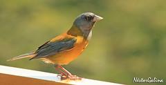 animal, fauna, emberizidae, beak, brambling, bird,