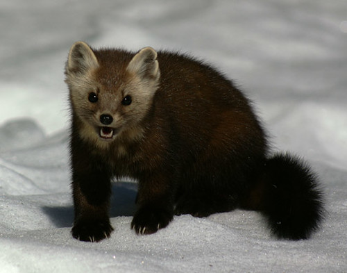 American Marten (Pine Marten) | Flickr - Photo Sharing!