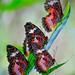 Butterflies by docjabagat