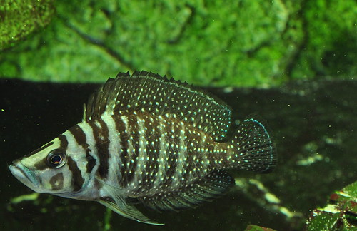 Fish That Are Native Were The Mbu Puffer Is From The