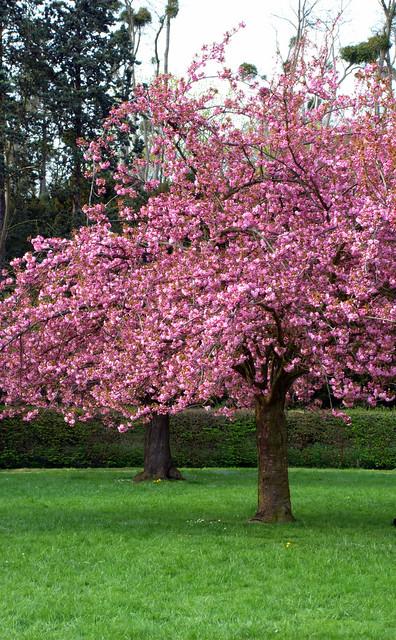 Arbres et fleurs roses c 39 est le printemps flickr photo sharing - Arbre japonais rose ...