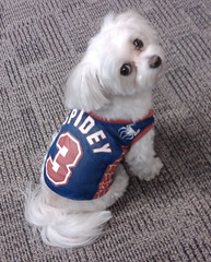 Dixie, Marvel's resident office dog, in a Spider-Man shirt