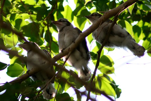 3 Little Blue Jay Chicks