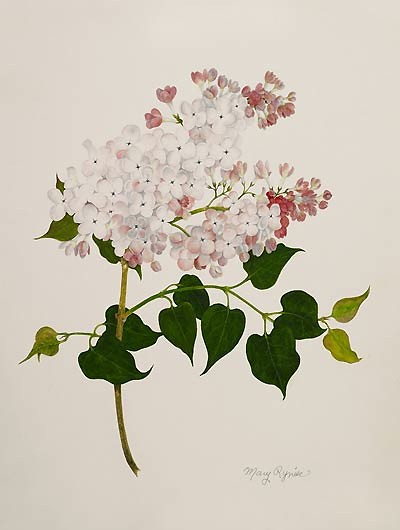 "Mary Ryniec, Syringa × hyacinthiflora 'Maiden's Blush', 2008  Watercolor on paper, 16"" × 12"". © Copyright Brooklyn Botanic Garden"