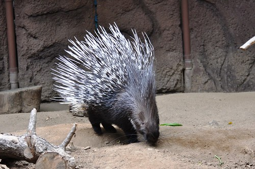 Indian Crested Porcupine_0148a