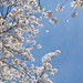 high park cherry blossoms by Kate Raynes-Goldie