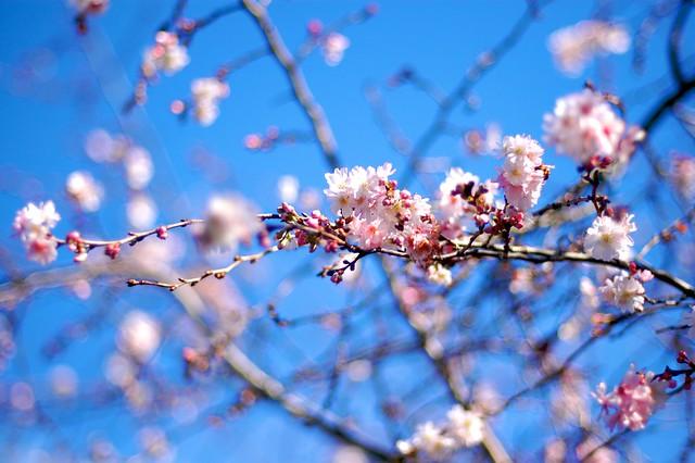 Winter Flowering Plants Winter Flowering Cherry Tree